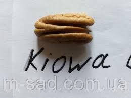 Саженцы ореха Пекан Киова (двухлетний)