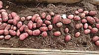 Особливості картоплі сорту Лаура