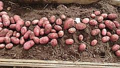 Особенности картофеля сорта Лаура