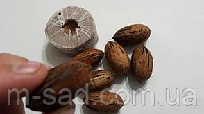 Саженцы ореха Пекан Шавния  Chawnee (двухлетний), фото 2