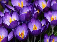 КрокусBarr'S Purple 10 шт
