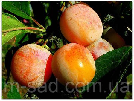 Саженцы Сливы Жовта Медовая(среднеранний,крупноплодный), фото 2