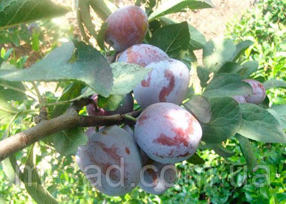 Саженцы сливы Кабардинка (ранний,скороплодный,крупноплодный)