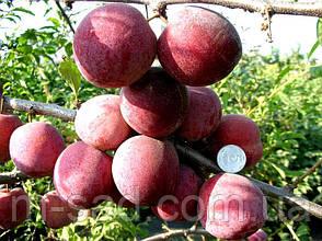 Слива Озарк Премьер(скороплодный,конец июля,крупный), фото 2
