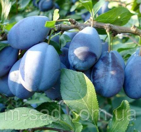 Саженцы сливы Стенлей (среднепоздний сорт,скороплодный,самоплодный), фото 2