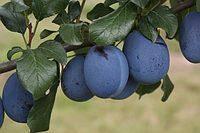 Слива Топ-Фит(скороплодный,самоопыляемый), фото 2