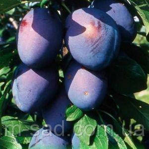 Саженцы Сливы Эмпресс(отличный сорт для чернослива), фото 2