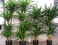 Драцена marginata(семена 2шт)