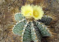 124. Astrophytum Ornatum (семена 2шт)