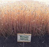 Мелодія одеська пшениця озима