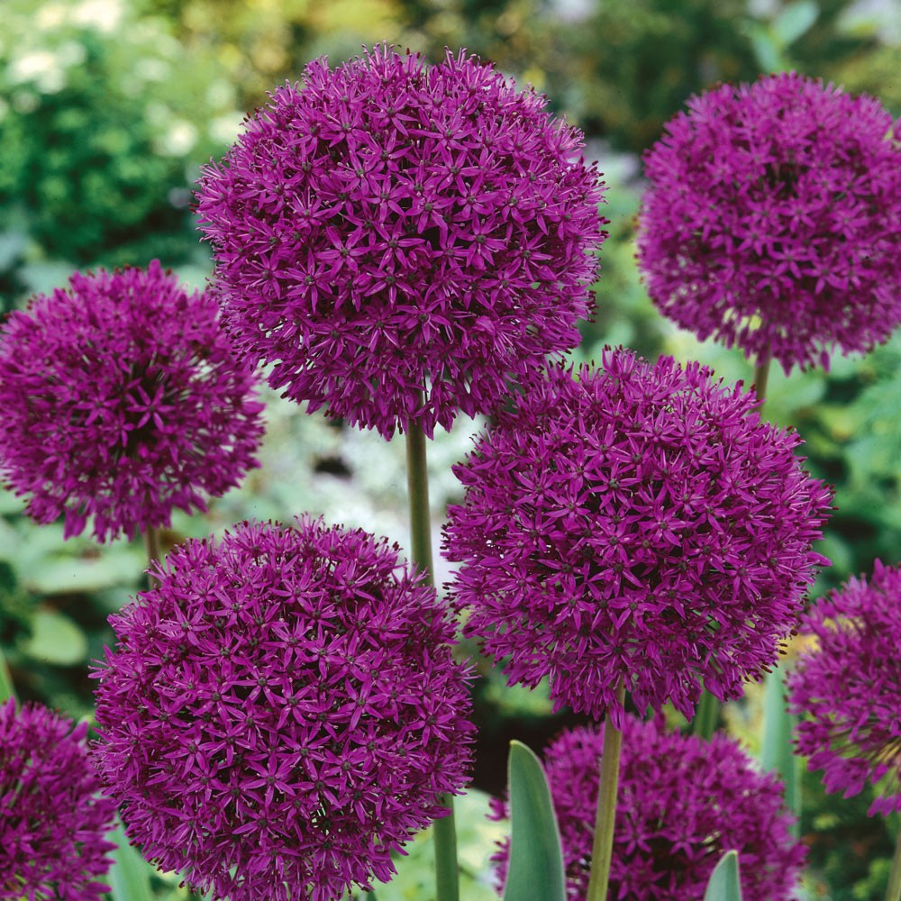 Аллиум Пепл Сенсейшн (Allium Purple Sensation)