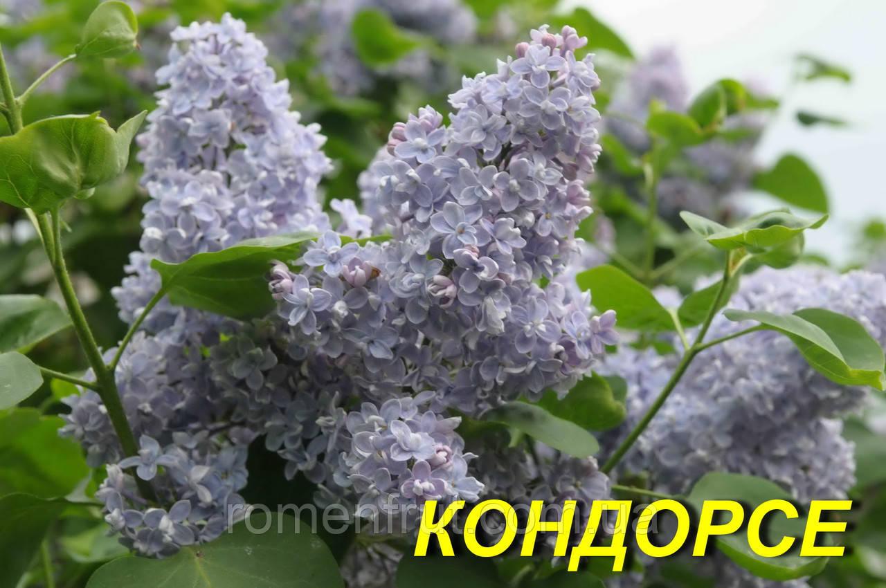 """Сирень обыкновенная """"Кондорсе"""" (ЗКС) 2 г."""