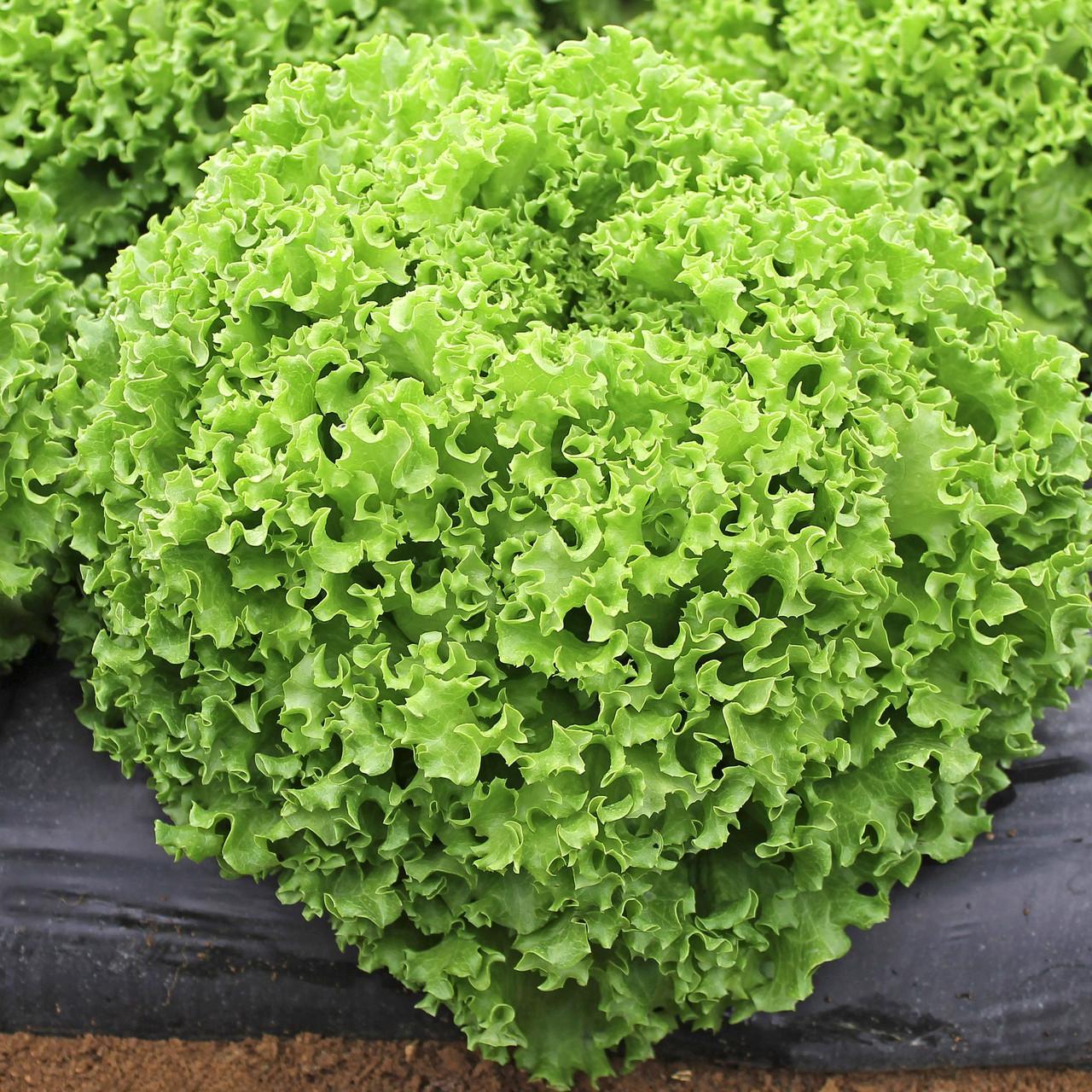 Семена салата Драгон, Hazera 1 000 семян (драже)   профессиональные