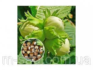 Фундук Барселонський (відводки 1 рік)середньо ранній,крупно плодовий, фото 2