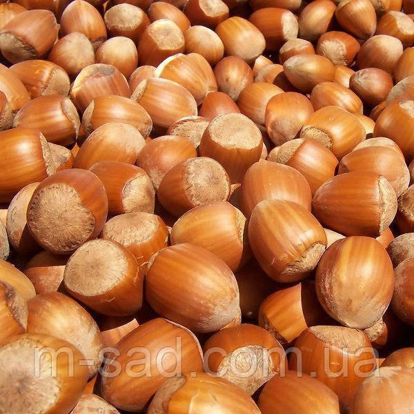 Фундук Вебба (отводки 1год) крупно плодный,урожайный