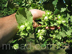 Фундук Степной (отводки 1 год)средне рослый,урожайный