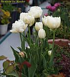 Тюльпан Ice Wonder (Чудо льда), фото 3