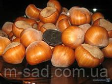 Фундук Трапезунд (отводки 1год)вкусный,урожайный,морозоустойчивый, фото 3