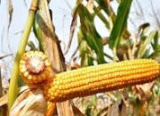 Семена кукурузы Бюрли КС