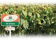 Купить Семена подсолнечника ЕС Артіміс