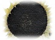 Купить Семена подсолнечник Обрая КС