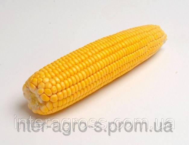 Купить Семена кукурузы P8000 / П8000