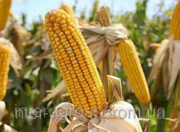 Купить Семена кукурузы БІЛОЗІРСЬКИЙ 295 СВ