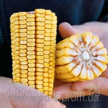 Купить Семена кукурузы ЛЮБАВА 279 МВ