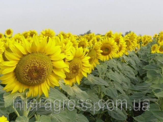 Купить Семена подсолнечника НС-Х-6042