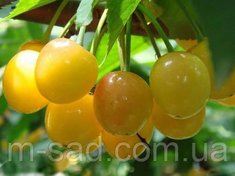 Саженцы черешни Дрогана (летний сорт,средний срок созревания), фото 2