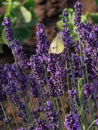 Цвіт Лаванди