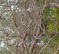Привитая шелковица Тортуоза (извилистая)