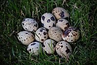 Яйца перепела диетические