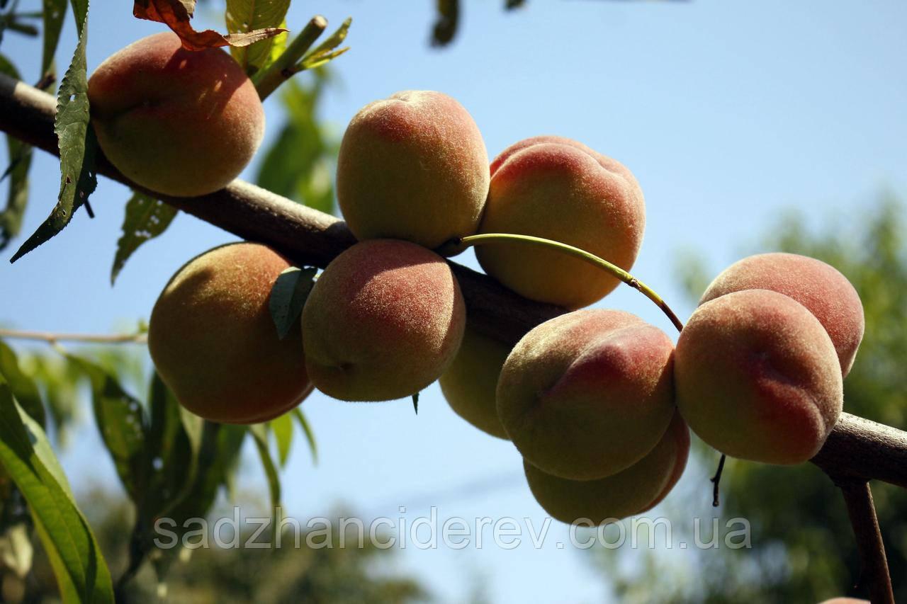 Саджанці персика Сонячний