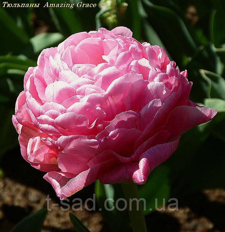 Тюльпан Amazing Grace(Дивовижна Грація)