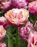 Тюльпан Amazing Grace(Дивовижна Грація), фото 2