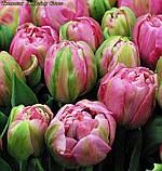 Тюльпан Amazing Grace(Дивовижна Грація), фото 4