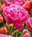 Тюльпан Amazing Grace(Дивовижна Грація), фото 5