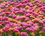 Тюльпан Amazing Grace(Дивовижна Грація), фото 6