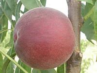 Саджанці персика Роял Маджестік (Роял Маджестик, Royal Majestic, Zaimajal)