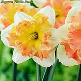 Нарцисс Vanilla Peach (Ванилла Пич) сплит 12/14, фото 3