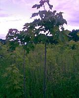 Клен шаровидный 'Globosum' остролистый