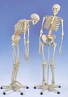 Модель скелета человека 'Фред' с подвижным позвоночником