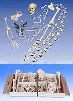 Набір кісток половини скелета