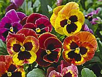 Семена Виола Маммут F1 ,Есть все цвета  100 семян Syngenta