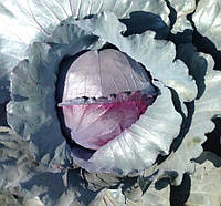 Семена капусты Ред Класс F1, Lark Seeds 2 500 семян   профессиональные