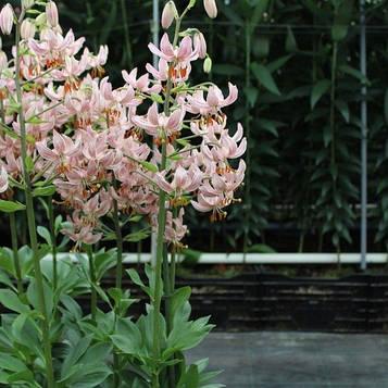Лилия мартагон ПИНК МОРНИНГ (Lilium martagon Pink Morning)