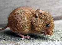 Дератизация. Борьба с мышами.