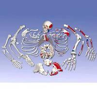 Набір кісток скелета