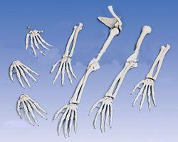 Кости руки, кисти, ключицы
